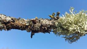 Лишайники на ветви дерева с голубым небом на заднем плане Стоковые Фотографии RF