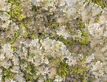 Лишайник войлока на крупном плане дерева Стоковая Фотография
