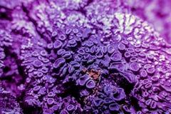 Лишайник в ультрафиолетовом луче Стоковые Изображения RF