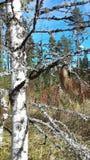 Лишайник лесного дерева дерева березы Стоковые Изображения RF