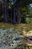Лишайник и мох под елями Дугласа Стоковые Фото