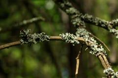 Лишайник Лето Forrest Стоковое Изображение RF