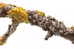 Лишайник на ветви дерева Стоковые Фото