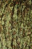 Лишайник на дереве Стоковые Фотографии RF