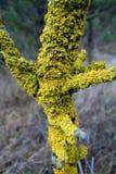 Лишайник на дереве Стоковые Изображения