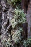 Лишайник на крупном плане дерева стоковые изображения rf
