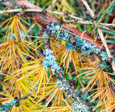 Лишайник на хворостине лиственницы в осени Стоковые Фото