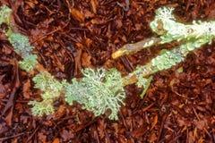 Лишайник на хворостине Стоковое Изображение RF