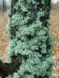 Лишайник растя на дереве Стоковое Изображение