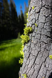 Лишайник растя на коре дерева Yosemite Стоковое Фото