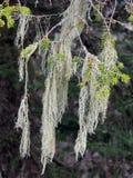 Лишайник растя на сосне Стоковое Фото