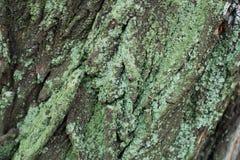 Лишайник сизоватого зеленого цвета на неровной коре дерева стоковое изображение