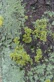 Лишайник сизоватого и желтоватого зеленого цвета на расшиве конского каштана стоковые фотографии rf