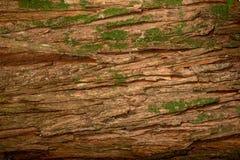 Лишайник трубки, physodes hypogymnia растя на коре дерева Стоковое Изображение RF