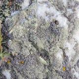 Лишайник цвета на белом кварците ( Природа Байкала стоковое изображение