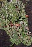 Лишайник чашки или мох чашки Стоковые Изображения