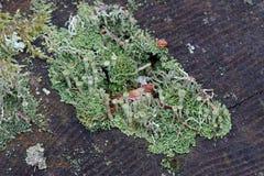 Лишайник чашки или мох чашки Стоковое фото RF