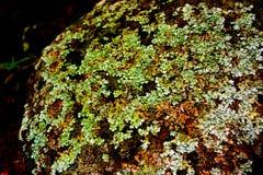 Лишайник carpets камень взморья Стоковое фото RF