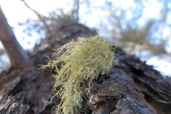 Лишайник Usnea на дереве Стоковое Изображение RF