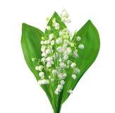 Лилии белых цветков долины на белизне Стоковое Фото