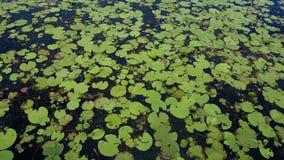 Лилии воды в Австралии Стоковое Фото