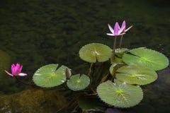 Лилии воды в пруде стоковые изображения