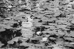 Лилии воды в пруде 3 Стоковые Изображения