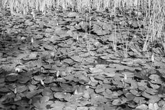 Лилии воды в пруде 2 Стоковые Изображения RF