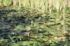 Лилии воды в пруде Стоковые Изображения RF