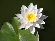 Лилии воды лето сада цветков цветения Стоковая Фотография