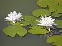 Лилии воды лето сада цветков цветения Стоковое Изображение