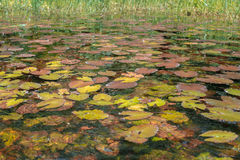 Лилии воды заполнили озера (Республика Конго) стоковая фотография rf
