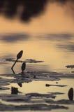 Лилии воды на заходе солнца в перепаде Okavango, Ботсвана Стоковое фото RF