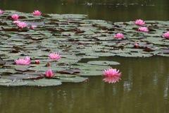 Лилии воды на озере Стоковая Фотография