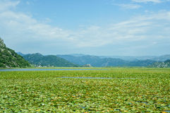 Лилии воды на озере Skadar в Черногории Стоковая Фотография RF