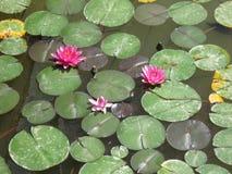 Лилии воды на пруде Стоковые Изображения RF