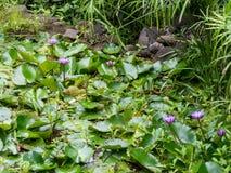 Лилии воды на садах воды Vaipahi, Таити, Французской Полинезии стоковые изображения