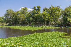 Лилии воды, трава, деревья и другая вегетация в Brazos гнут парк штата около Хьюстона, Техаса стоковое фото rf