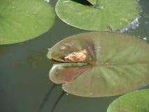 Лилии воды Стоковые Фотографии RF