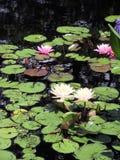 Лилии воды Стоковая Фотография RF
