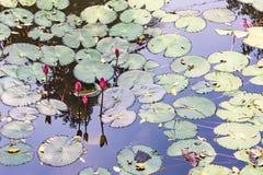 Лилии воды Стоковое Изображение RF