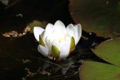 Лилии воды Стоковые Изображения RF