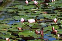 Лилии воды Стоковое Изображение