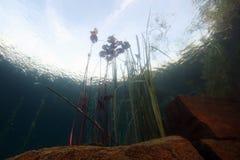 Лилии воды Стоковые Фото