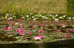 Лилии в озере Стоковая Фотография RF