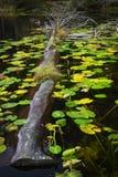 Лилии дерева и воды стоковое изображение