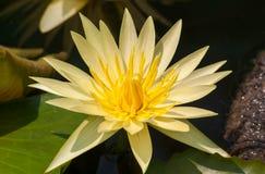 Лилии желтой воды Стоковое Изображение