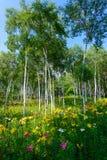 Лилии и белая береза Стоковое Изображение