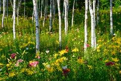 Лилии и белая береза Стоковая Фотография