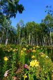 Лилии и белая береза Стоковое фото RF